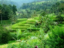 Bali rice fields of Jatiluweh)