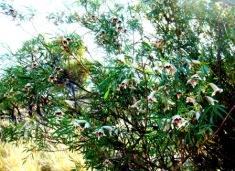 Australia outback flora