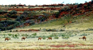 Australia outback views wild camels