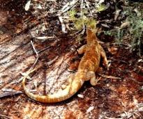 Australia's perenti lizard