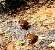 Australie outback fauna
