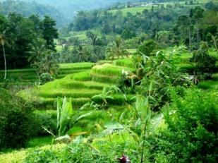 Bali rice fields of Jatiluweh