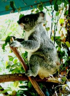 Australia Zoo patting koalas (2)