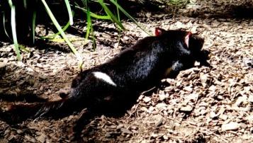 Australia Zoo Tasmanian Devil